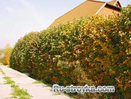 Шпалеры: живая изгородь из хвойных деревьев
