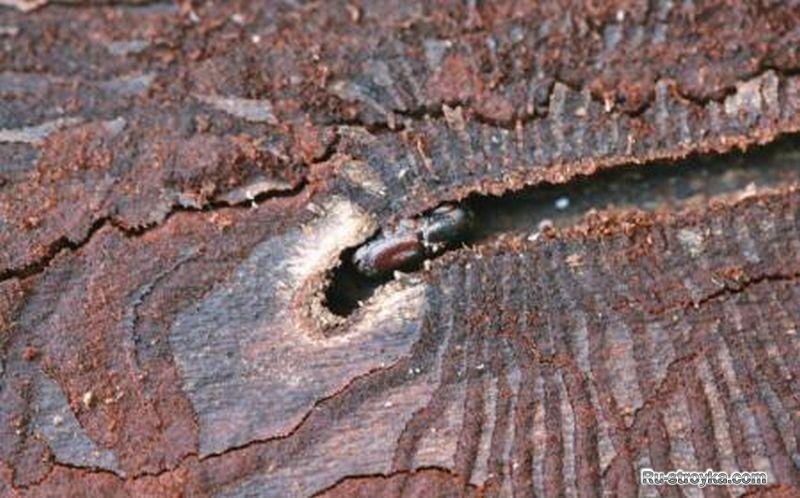 Как избавиться от жука короеда который завелся в вашем доме.